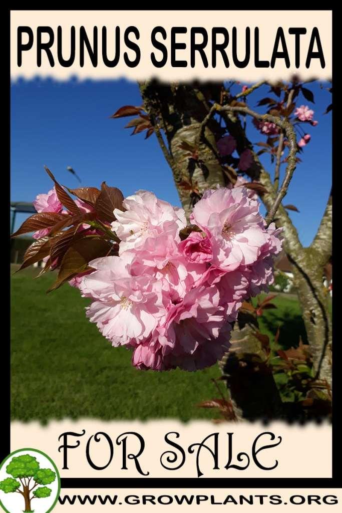 Prunus serrulata for sale