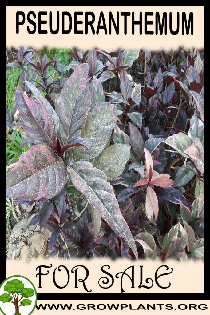 Pseuderanthemum for sale