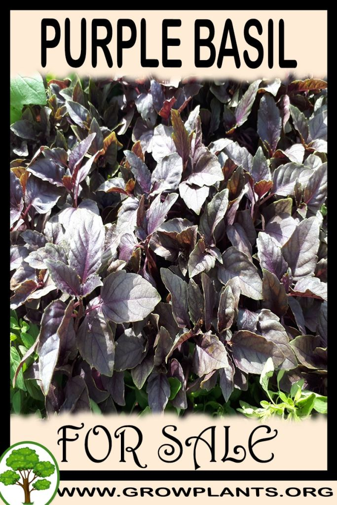 Purple basil for sale
