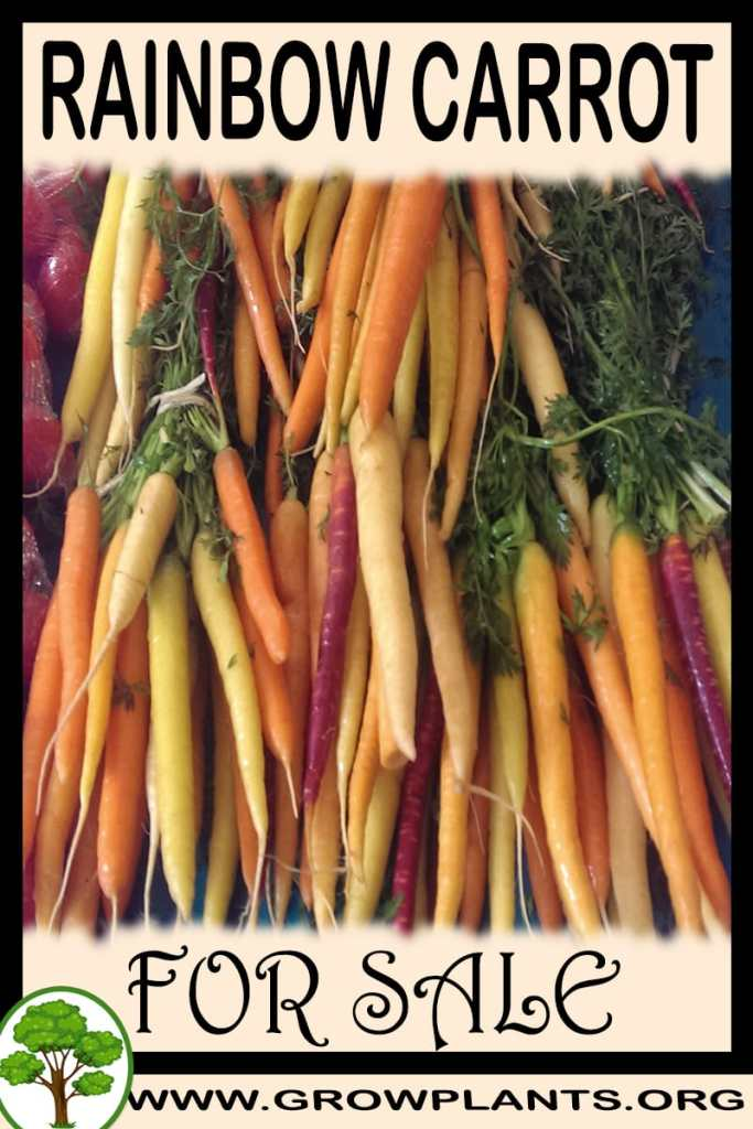 Rainbow carrot for sale