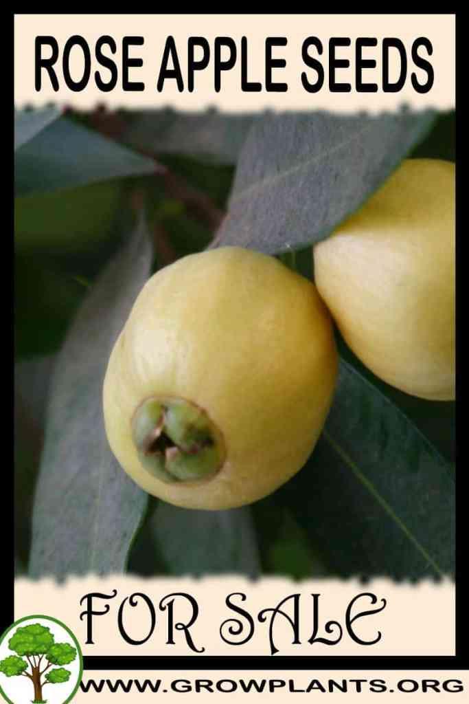 Rose apple seeds for sale