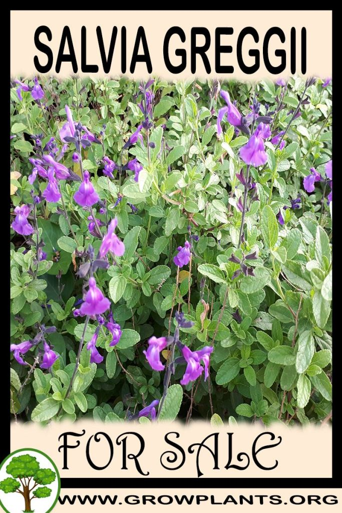 Salvia greggii for sale