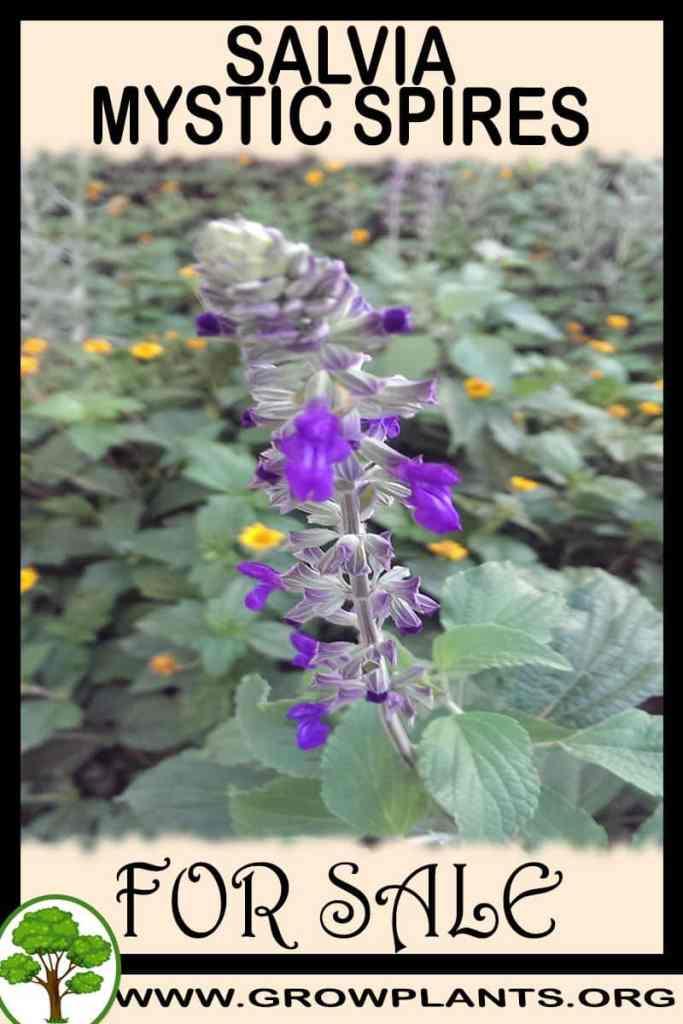 Salvia mystic spires for sale