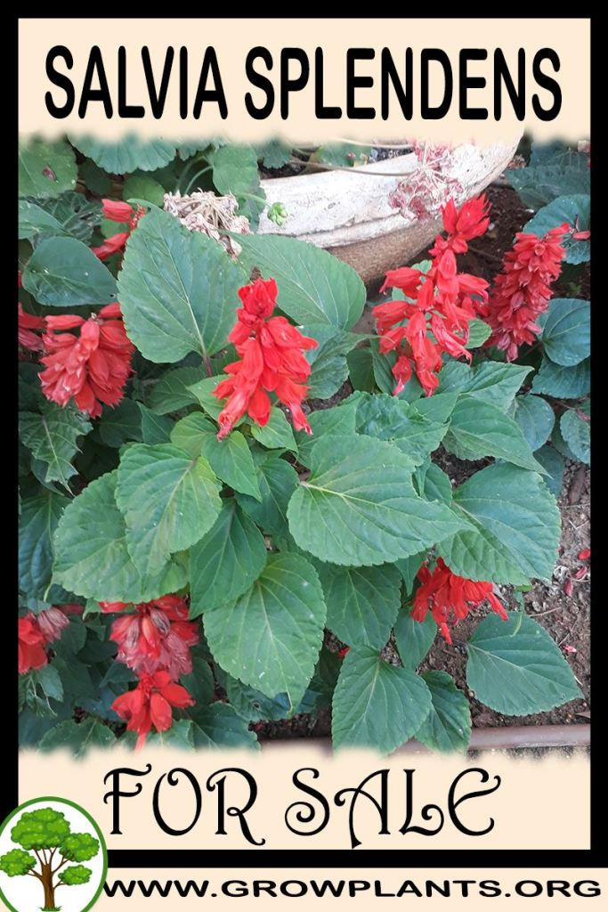 Salvia splendens for sale