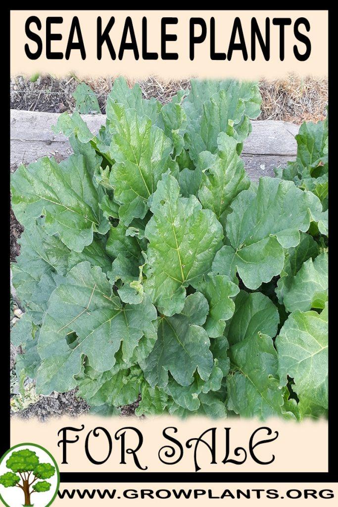 Sea kale plants for sale
