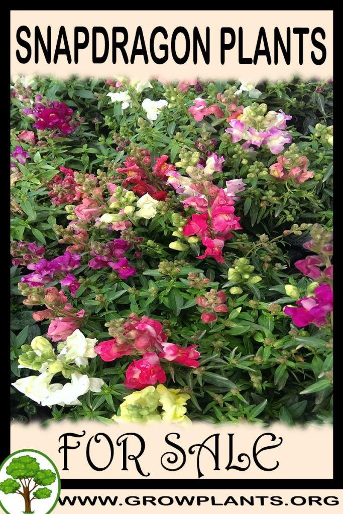 Snapdragon plants for sale