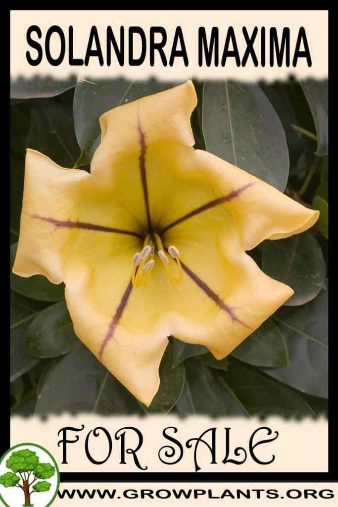 Solandra maxima for sale