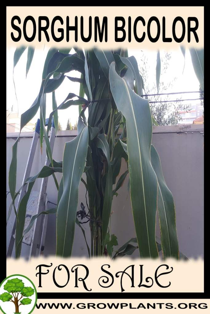 Sorghum bicolor for sale