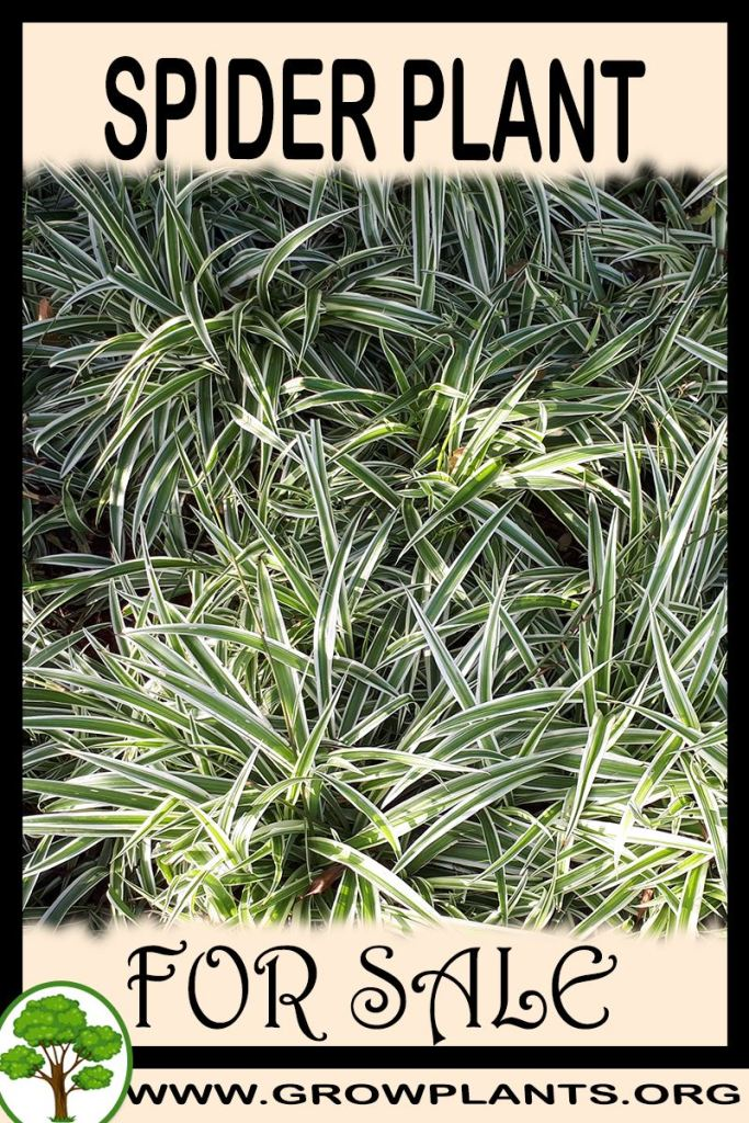 Spider plant for sale
