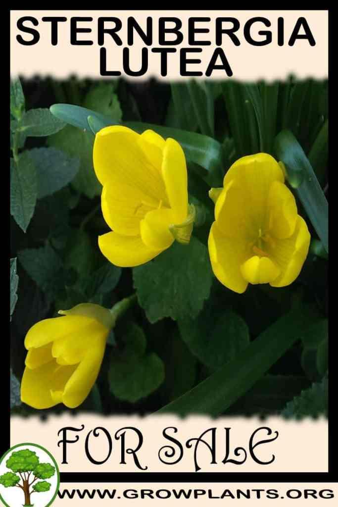 Sternbergia lutea for sale