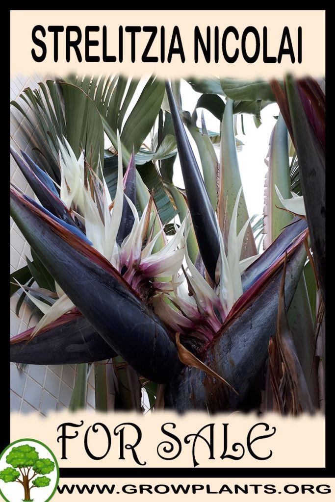 Strelitzia nicolai for sale