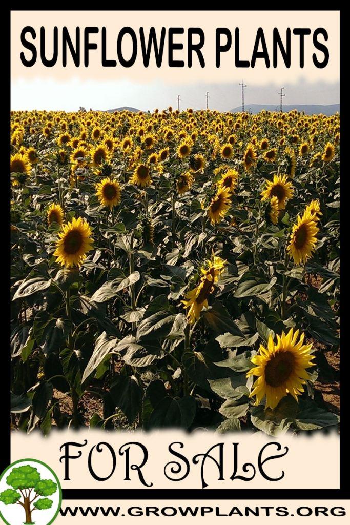 Sunflower plants for sale