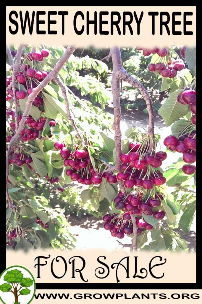 Sweet cherry tree for sale