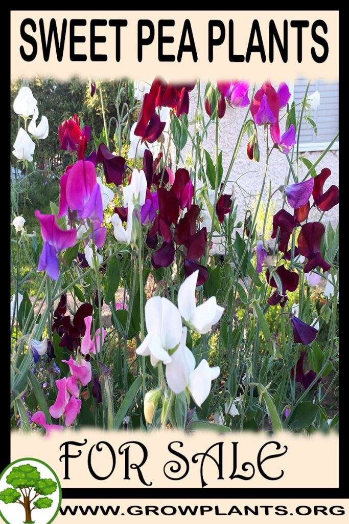 Sweet pea plants for sale
