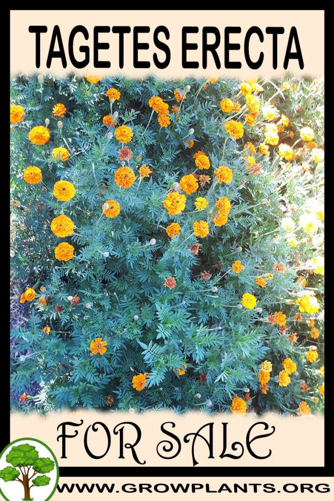 Tagetes erecta for sale
