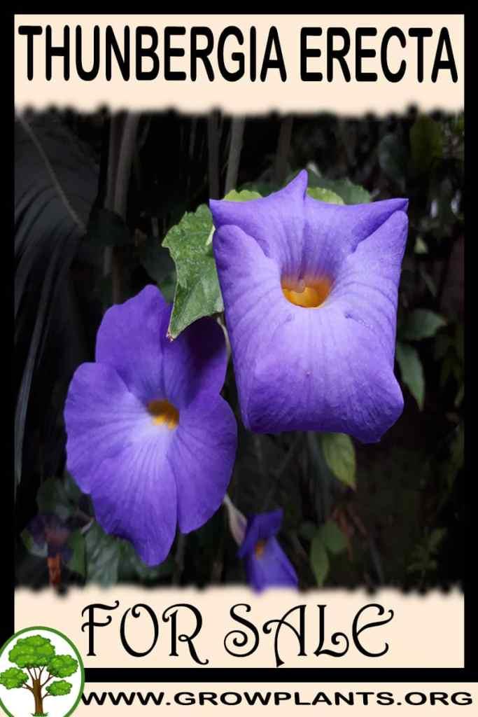 Thunbergia erecta for sale
