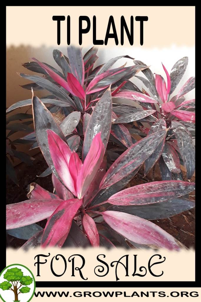 Ti plant for sale
