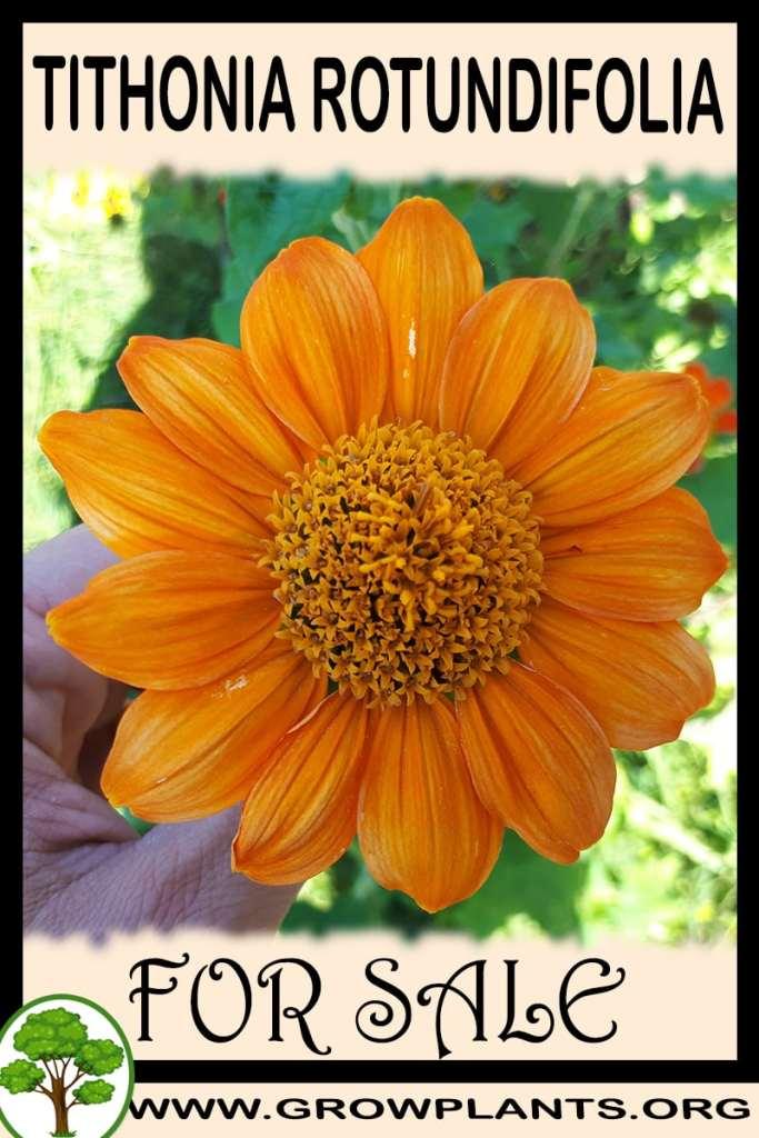 Tithonia rotundifolia for sale