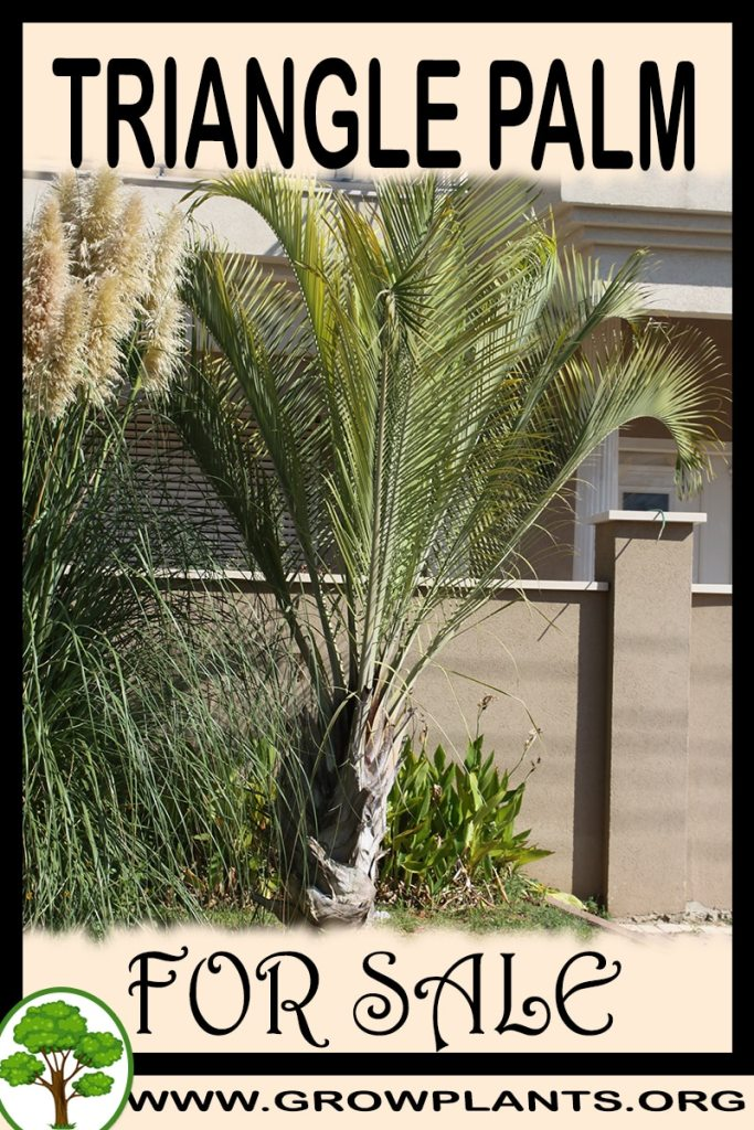 Triangle palm for sale