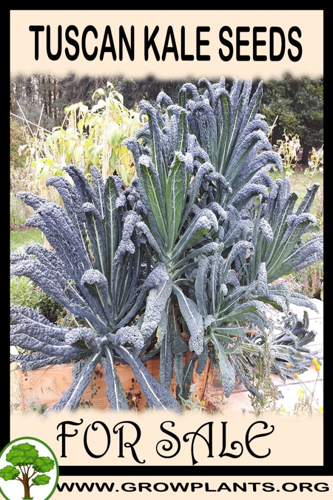 Tuscan kale seeds for sale