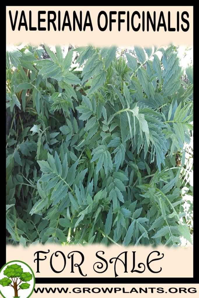 Valeriana officinalis for sale