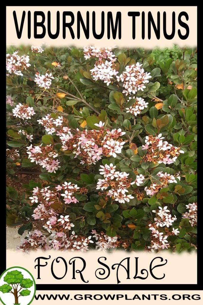 Viburnum tinus for sale