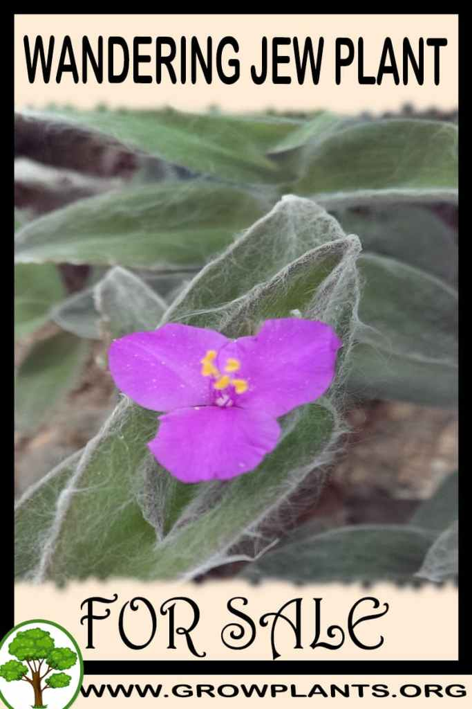 Wandering jew plant for sale