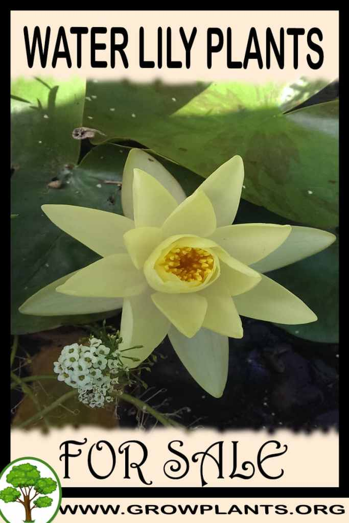 Water lily plants for sale