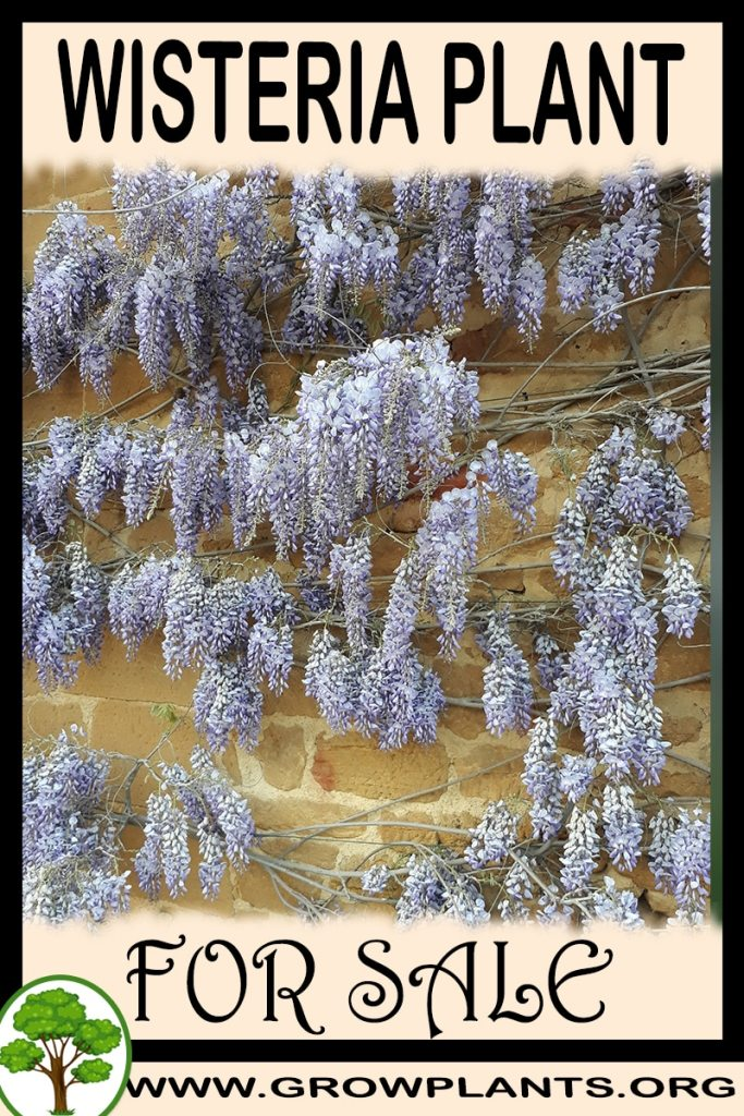 Wisteria plant for sale