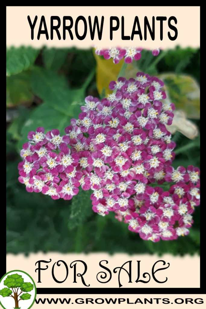 Yarrow plants for sale