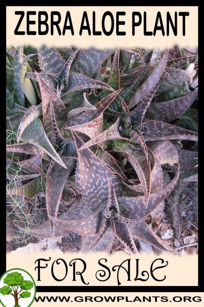 Zebra aloe plant for sale