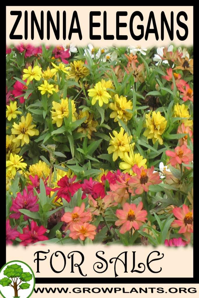 Zinnia elegans for sale