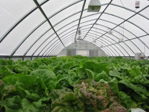 hydroponic greenhouse with full on