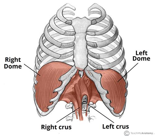 Friday Focus:  The Diaphragm