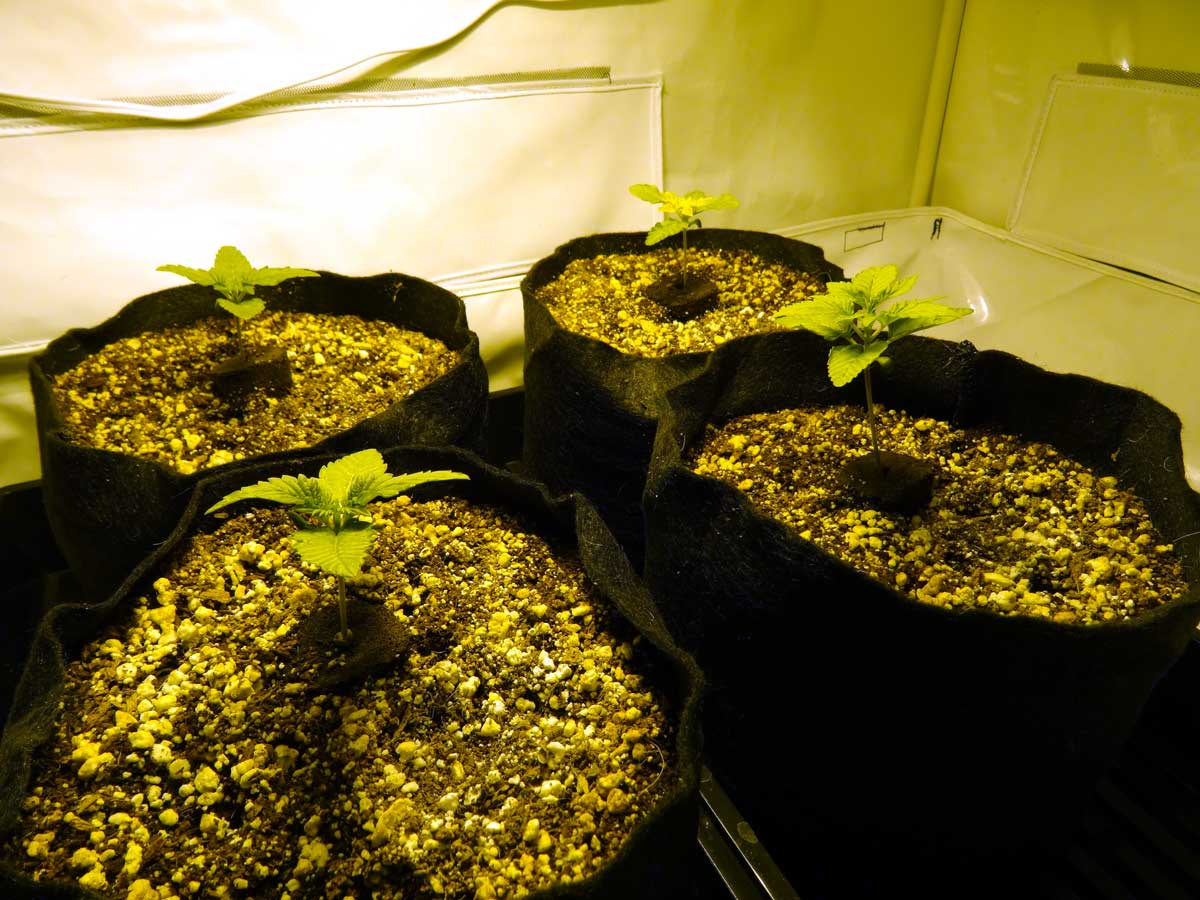Grow 4 7 Oz With A 250W HPS Step By Step Beginner