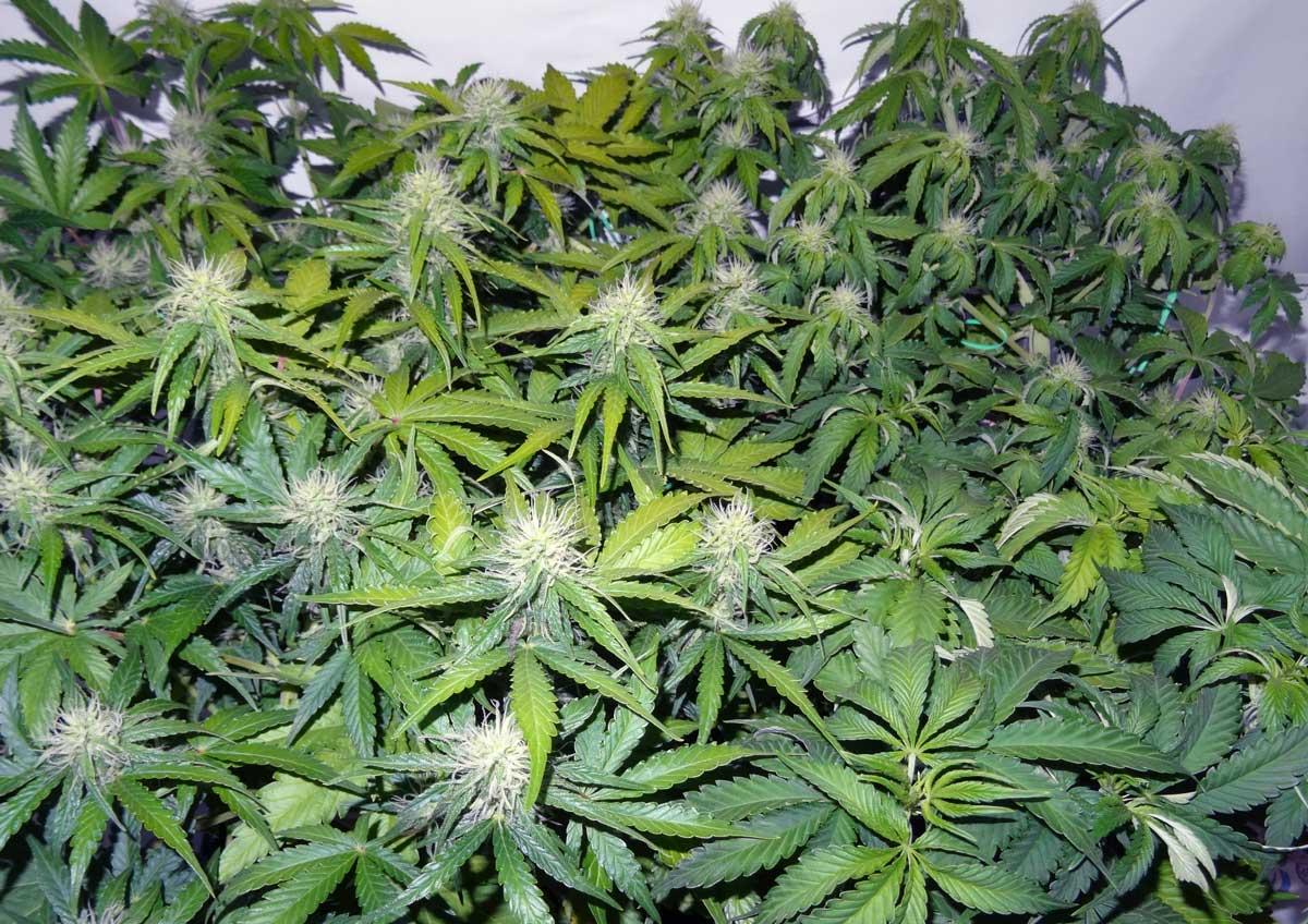 Cannabis Light Burn Amp Light Stress Symptoms Grow Weed Easy