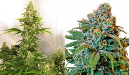 Auto-flowering Liberty Haze plant