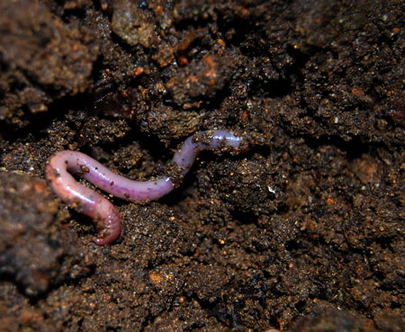 Worm castings help create a nutrient-rich soil that cannabis thrives in