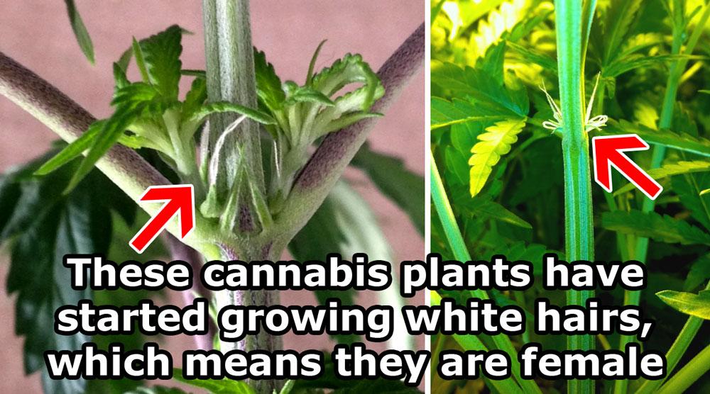 Seeds Look Hemp What Do