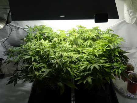 How To Grow Auto Flowering Cannabis Strains Grow Weed Easy