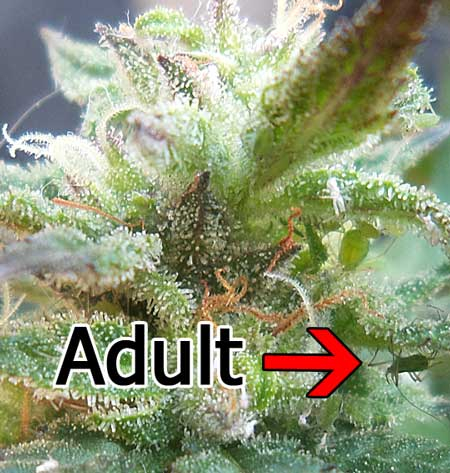 Adult aphid and exoskeletons on a cannabis bud