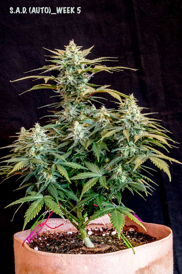 Auto Flowering Training For Bigger Yields Grow Weed Easy