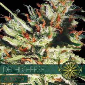 Delhi Cheese Auto Vision Seeds