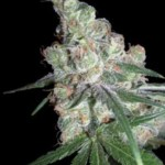 CHOCOLOPE DNA GENETICS RESERVA PRIVADA 3 SEMI FEM