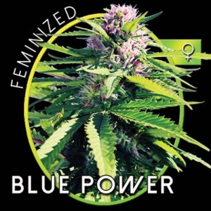 Blue Power Fem Vision Seeds