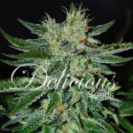 Sugar Black Rose Fast Indica Fem 3
