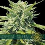 Crystal Queen Fem Vision Seeds