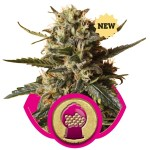Bubblegum XL Fem Royal Queen Seeds