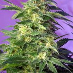 Killer Kush AUTO SWEET SEEDS