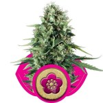 Power Flower Fem Royal Queen Seeds